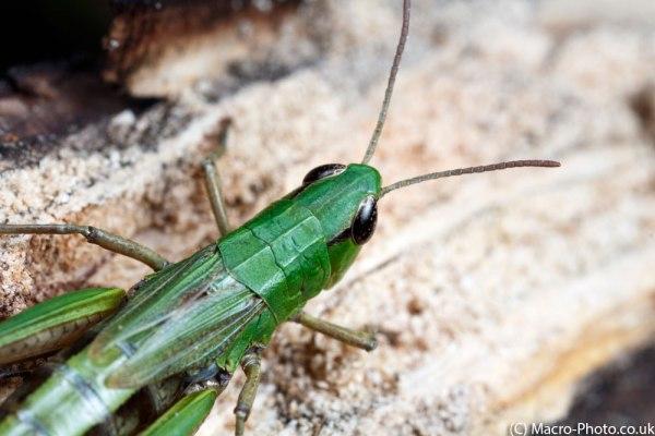 Grasshopper at 1x Magnification