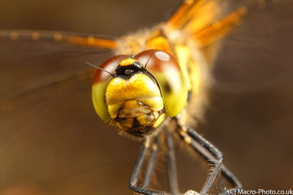 Female Black Darter MPE-65mm (5)