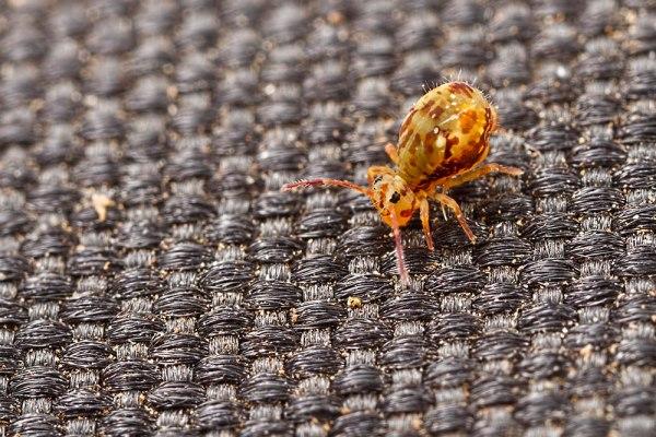 Globular Springtail walk the mat