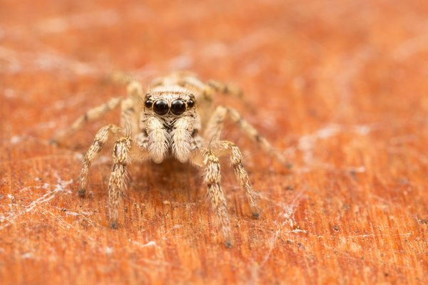 Jumping Spider. MT-24ex Flash (RAW unedited)