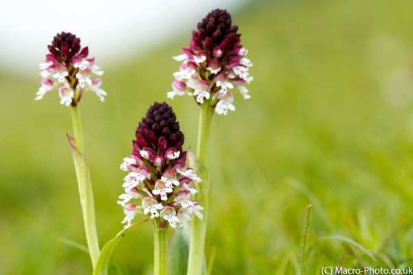 Burnt Tip - Wild Orchids - Original Image