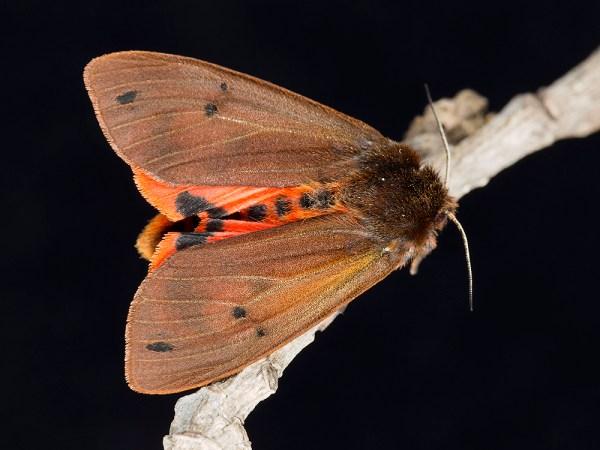 Maltese Ruby Tiger Moth, by Gordon Zammit