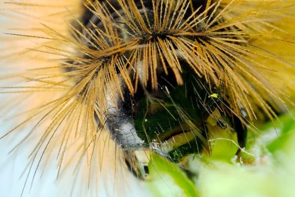 Maltese Ruby Tiger Moth Caterpillar, by Gordon Zammit