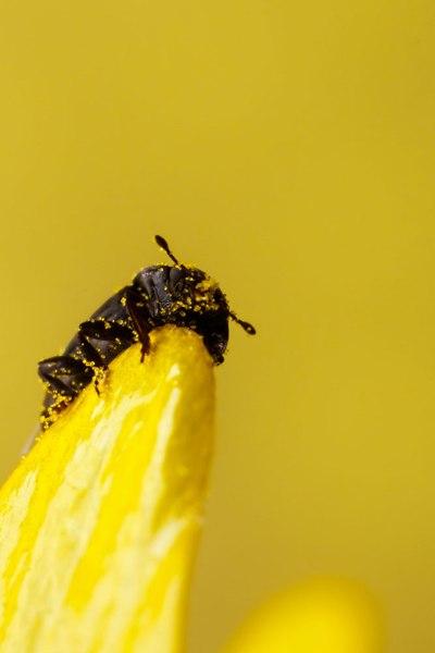 Beetle on Celandine petal (4)