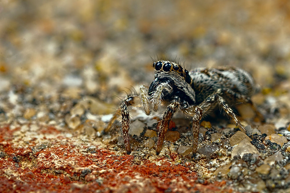 Jumping Effects Spider