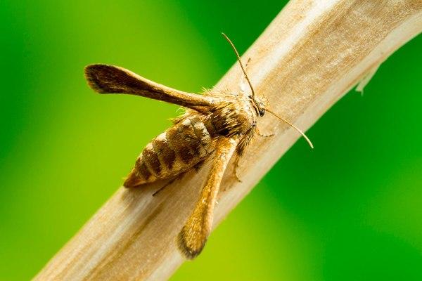Possible Clearwing Moth - by Gordon Zammit (4)