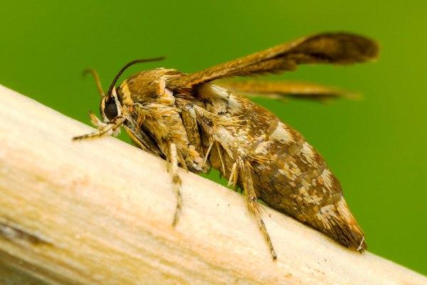 Possible Clearwing Moth - by Gordon Zammit (1)