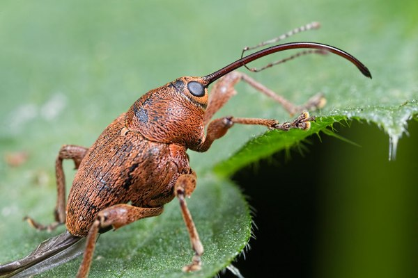 Nut Weevil on nettle with damaged wing