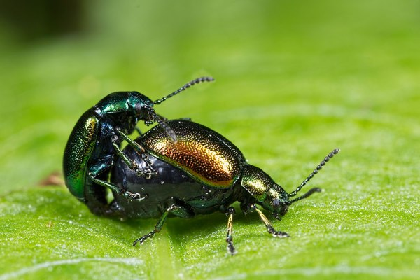 Mating Doc Leaf Beetles @ about 2x Mag