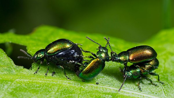 Male Doc Leaf Beetles fighting over a female