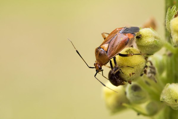 Bug on Figwort