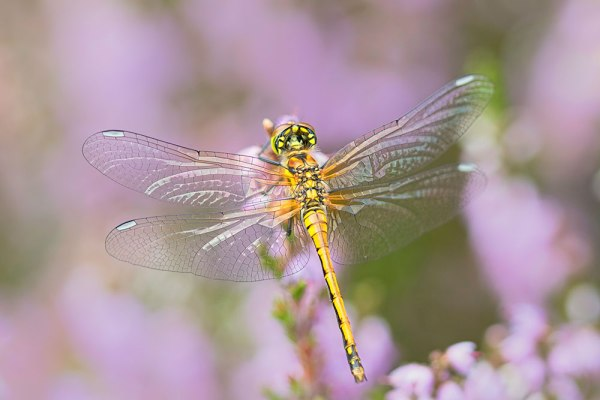 Female Black Darter on Heather - 5 Images Stacked