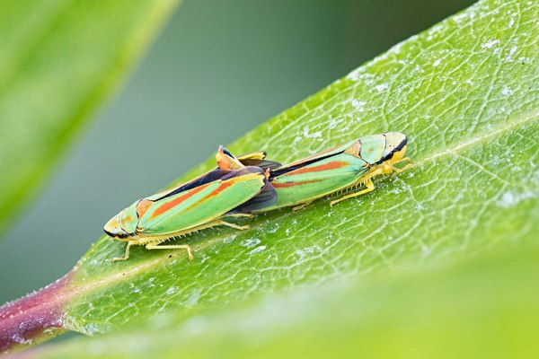 Mating Rhododendron Leafhoppers - 5 Images Stacked