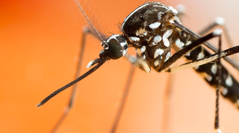 Asian Tiger Mosquito (4) by Gordon Zammit
