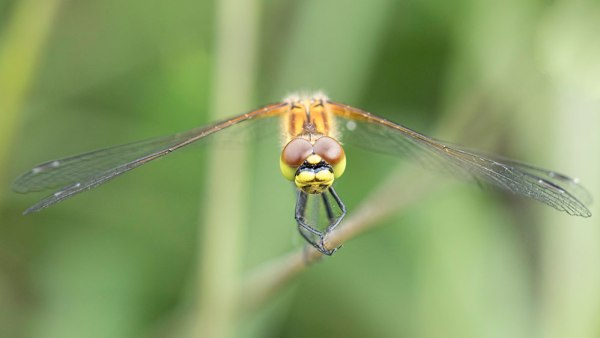 Black Darter Head On