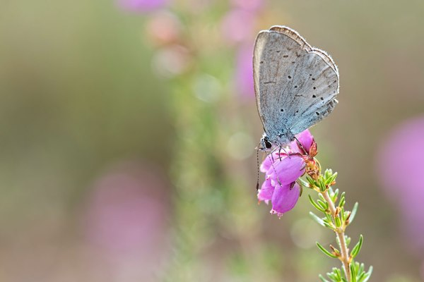 Small Blue on Heather