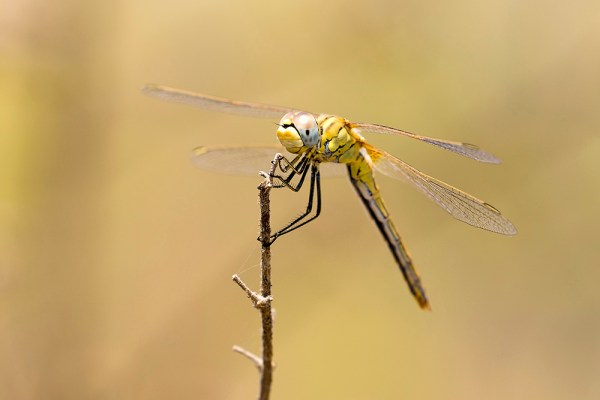 Dragonfly (2) by Gordon Zammit