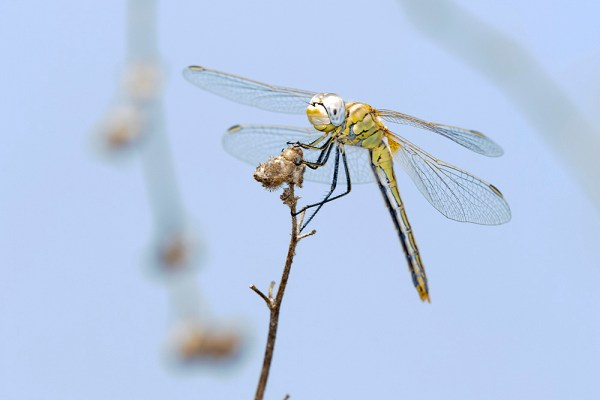Dragonfly (3) by Gordon Zammit