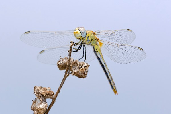 Dragonfly (4) by Gordon Zammit
