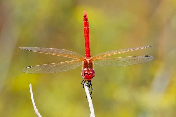 Red Dragonfly by Gordon Zammit (2)