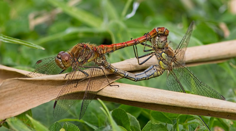 Mating Common Darters