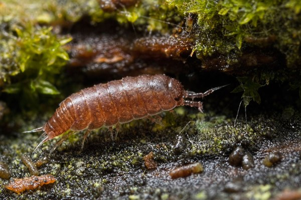 Woodlouse in Moss