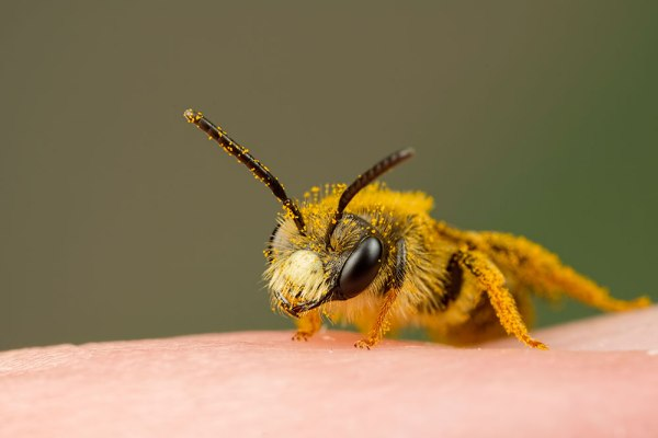 Mining Bee on my finger