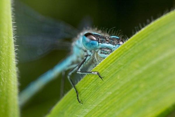 Blue damselfly on leaf