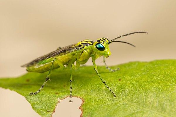 Rhogogaster viridis Sawfly