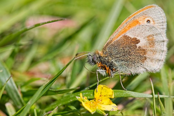 Small Heath with Parasites