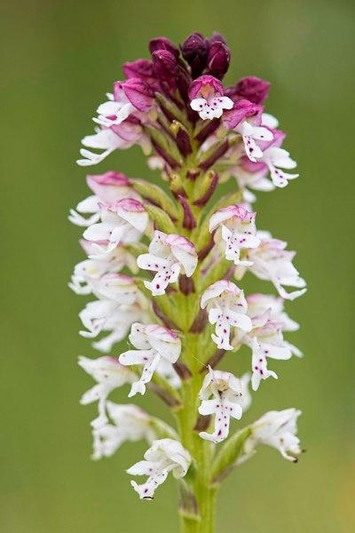 Burnt Tip Orchid (3)