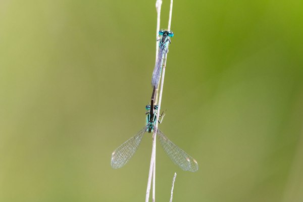 Mating damselflies (2)
