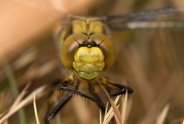 Black-tailed Skimmer ( 2 images stacked )