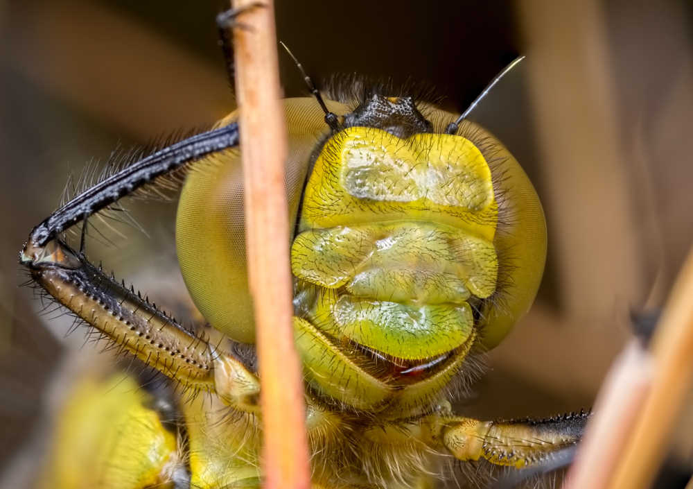 Dragon and Damselfly Face Shots