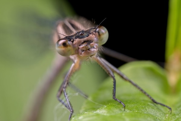 Up close with a female Common Blue Damselfly