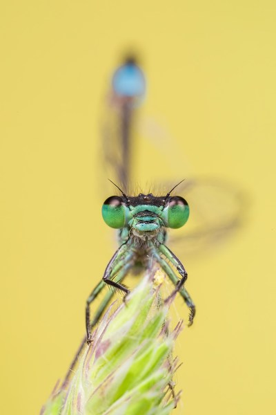 Blue-tailed Damselfly - see my tail!
