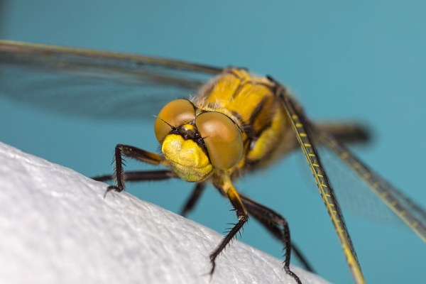 Black-tailed Skimmer on Flash Diffuser