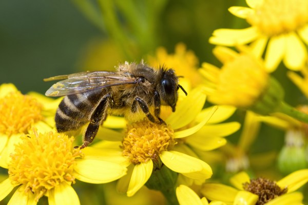 Bee resting on yellow flowers