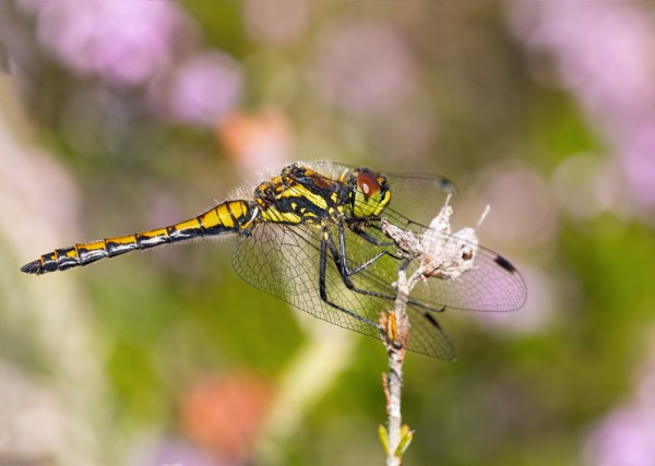 Black Darter in Profile