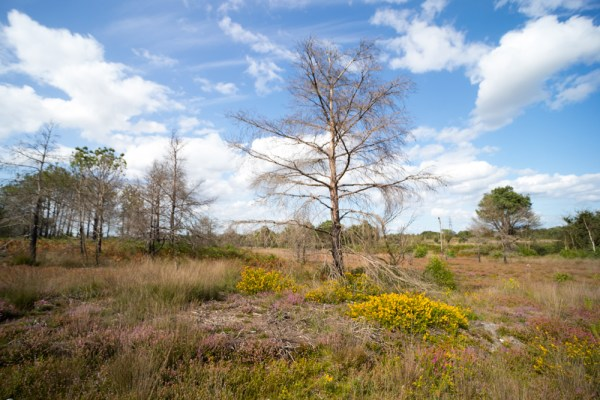 Dead Tree and Gorse on the Common