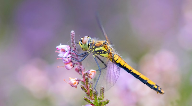 Black Darter on Heather