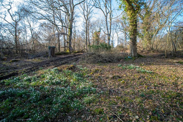 Wide angle shot of the Garston Wood Snowdrops