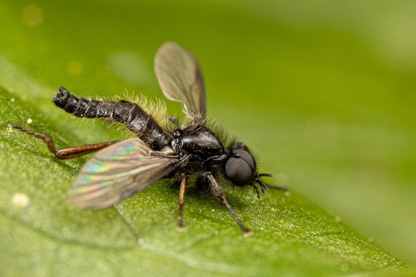 St Marks' Fly