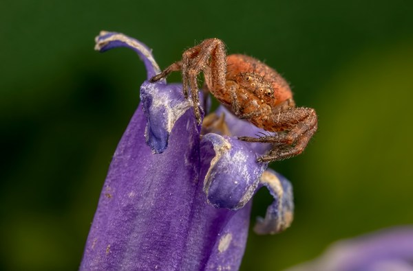 Crab Spider on Bluebell ( 2 shots stacked)