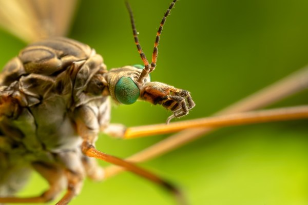 The Eyes of the Cranefly