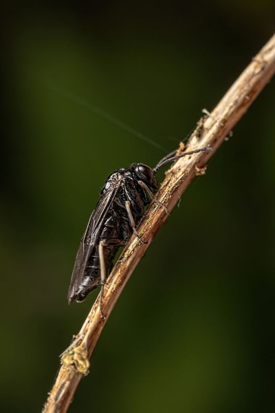 Sawfly on stem