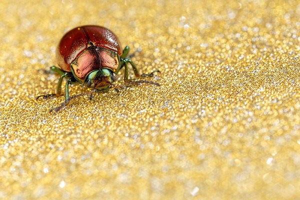 Chrysolina polita on gold glitter card