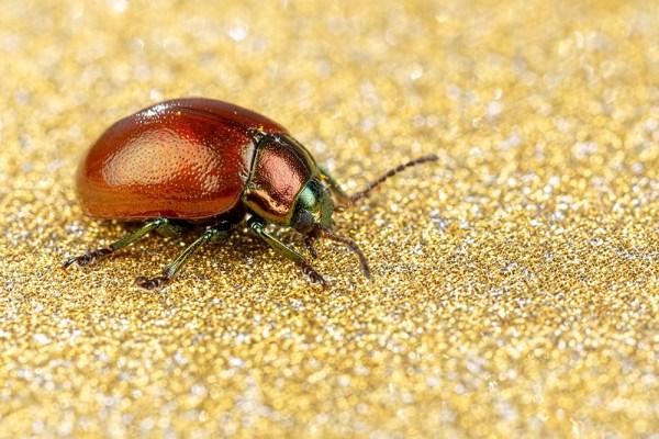 Chrysolina polita - Leaf Beetle