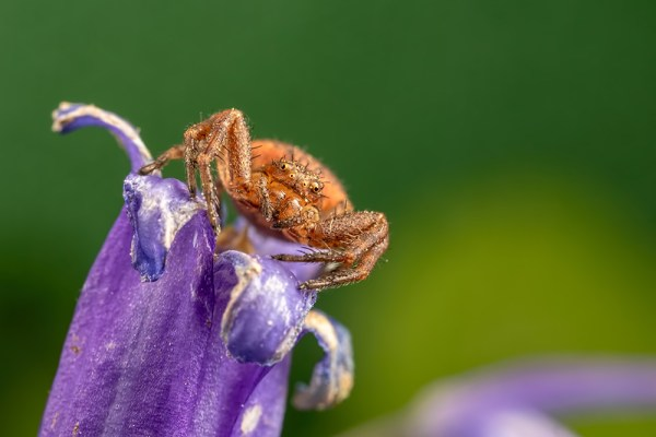 Crab Spider on Bluebell ( Green background )