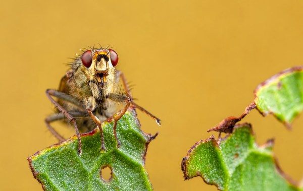 Yellow Dung Fly (2 shots stacked)